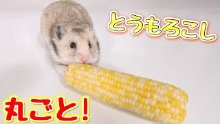 Download ハムスターがトウモロコシを丸ごと食べる姿が超かわいい! Video