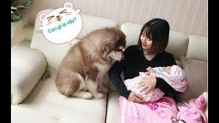 Download Mật lần đầu gặp em bé mới sinh của Mai==))) Alaska dog meets the baby for the first time Video