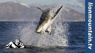 Download Massive Great White Shark Breach   CAUGHT IN THE ACT Video