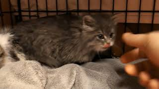 Download Hissy little feral kittens: Day two, feeding! Video