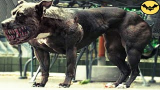 Download Top 5 Most Dangerous Hybrid Dogs Breeds In The World! Video