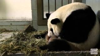 Download Giant Panda Twins Birth Video