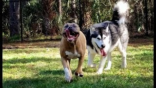Download Tonka the Malamute's BFF Capone His Brudder Surprise him at the Park! Video