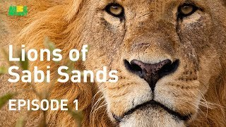 Download Lions of Sabi Sands - Episode 1 | Meet the Mapogo Clan Video