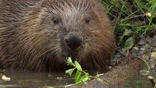 Download Beavers in Munich, Beaver Babies in Lodge Video