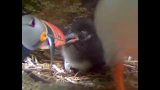 Download More food for Conrad Puffball. Puffin Burrow cam. 10.54 / 01 July 2017 Video