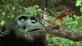 Download The Chimpanzee's Monkey Ambush | Predators | BBC Earth Video