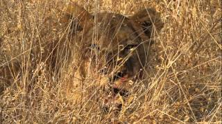 Download New lion cubs, pregnant lioness and Mapogo still roars with pride. Video