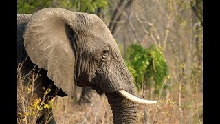 Download A Response to Initial Move to Lift U.S. Ban on Importing Elephant Trophies Video