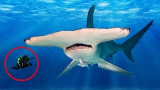 Download Most UNBELIEVABLE Facts About HAMMERHEAD Sharks! Video