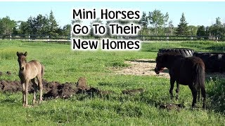 Download Mini Horses Find A New Home Video