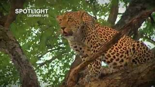 Download Karula's leopard cubs killed by hyena Video