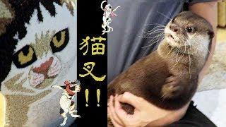 Download カワウソ コタロー かわいい猫のラグをプレゼントしたら・・ Kotaro the Otter Scared of Cat Rug Video