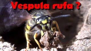 Download Observations - Guêpes (Vespula rufa ?) Video