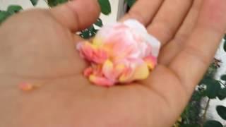 Download [Dương Anh] Hướng dẫn lai tạo hoa hồng phần 1 Video