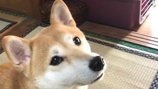 Download 犬は仕事に行くのか遊びに行くのか分かってる説 Dog knows where the owner goes Video
