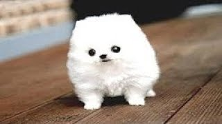 Download 22 Tiniest Dog Breeds in The World! Video