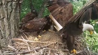 Download Decorah Eagles- Fish Flops Out Of Nest Mom Brings It Back Video