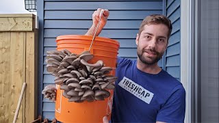 Download Grow Mushrooms at Home In A 5 Gallon Bucket (Easy - No Sterilization!) Video