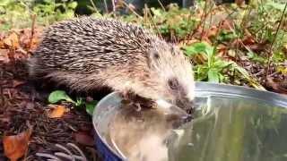 Download Kleiner Igel trinkt Wasser aus einem Blatt (Full HD) Video
