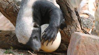 Download A Honey Badger Cracks Open a Thick Ostrich Egg Video