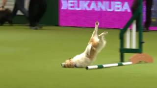 Download Olly the amazing Jack Russell & Karen at Crufts 2017 Video