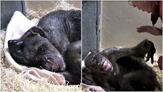 Download This Elderly Chimpanzee Was Sick And Dying When Suddenly She Recognized An Old Friend's Face Video