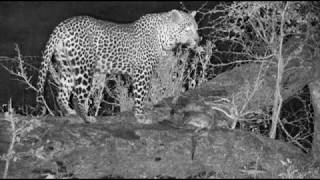 Download Djuma: Hosana male Leopard kills an African Wild Cat at Vuyatela Pan - 10/19/18 Video