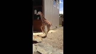 Download Tajiri Zoomies at Animal Adventure Park July 2017 Video