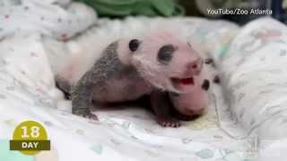 Download Baby Pando Video | Atlanta Zoo ″Panda Cam″: Watch Newborn Giant Pandas Video