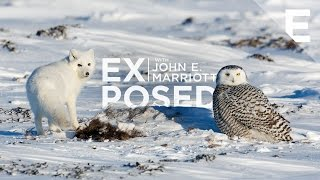 Download EXPOSED: Extras | Arctic Showdown between a Snowy Owl and an Arctic Fox Video