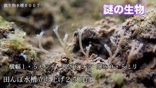 Download 微生物水槽 また新しい生物を三種類、発見しました。#007 Video