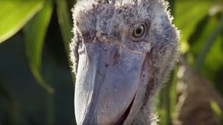 Download Shoebill Chick Reveals Darkside | Africa | BBC Video
