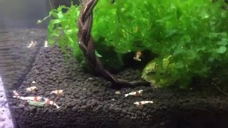Download How to set up a CRS shrimp tank Video