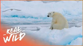 Download In Isolation With Polar Bears [Polar Bear Documentary] | Wild Things Video