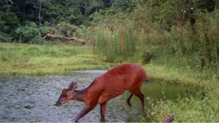 Download Red Brocket Deer-Adapted For Life in the Rainforest Video