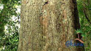 Download BIGGEST TREE IN GHANA Video