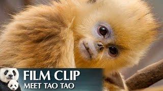 Download ″Meet Tao Tao″ Clip - Disneynature's Born in China Video
