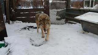 Download нападение волка Video