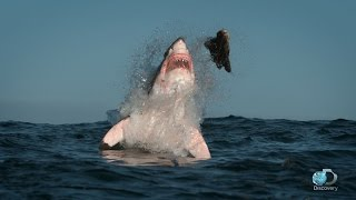 Download Breaching Great White Sharks | Shweekend Video