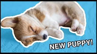 Download I Got A Corgi Puppy! | Vlog Video