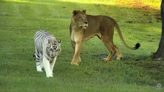 Download Zabu Bringing Cameron Lion to check on Breakfast early this morning Video