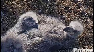 Download SWFL Eagles ~ Eaglets Tracking Along w/ Harriet ~ Adorable Cuteness & Tail Wiggle 1.15.18 Video