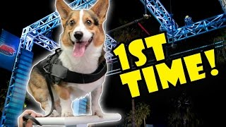 Download CORGI ATTEMPTS DOG AGILITY OBSTACLE COURSE FOR 1ST TIME Video