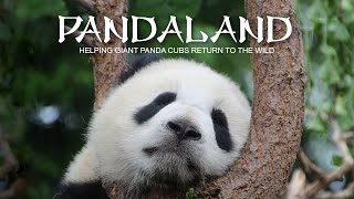 Download Pandaland. Helping giant panda cubs return to the wild Video