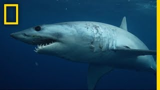 Download Sharks 101 | National Geographic Video