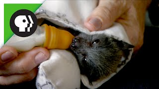 Download Baby Flying Fox (Fruit Bat) Video