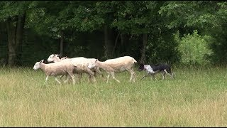 Download Border Collies (Training, Commands, Life Application) Video