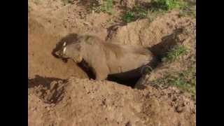 Download Warthog Digging a Burrow Video
