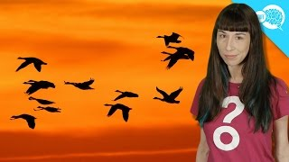 Download How Do Birds Know Where To Go When They Migrate? Video